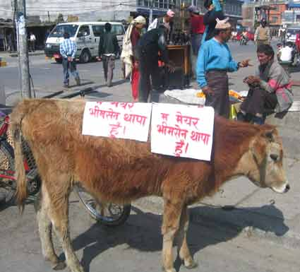 An ox with a slogan I am Mayor Bhimsen Thapa on the body