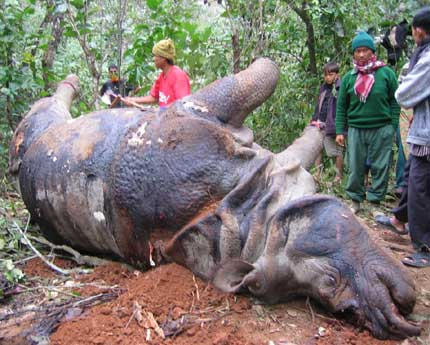 a rhino. murdered in chitwan, nepal