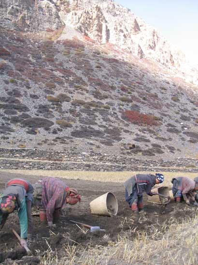 Nar women in field work
