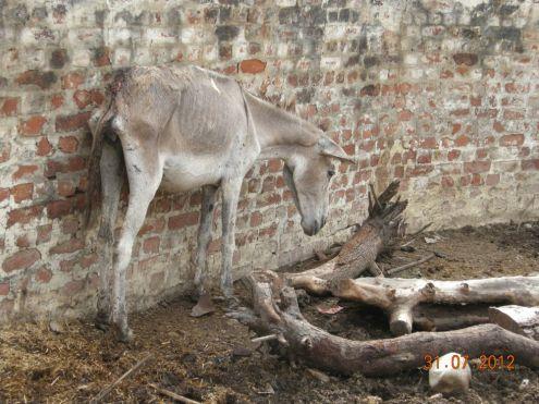 A starved donkey...